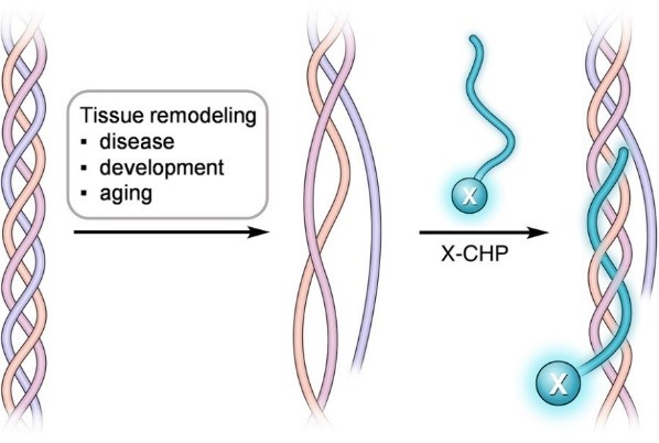 collagen hybridizing peptide remodelling